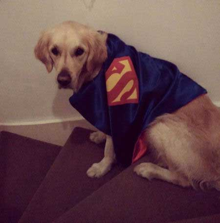 Super Dog Pictures with a retriever in a superman cape