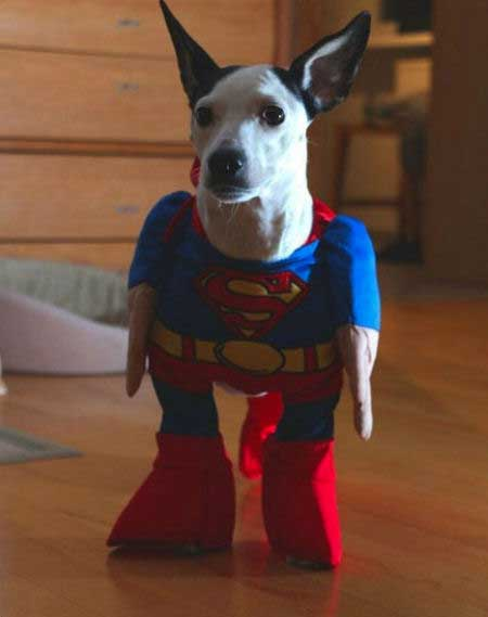 Super Dog Pictures with a Pooch dressed as Superman