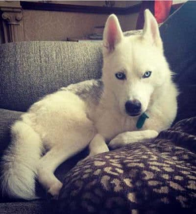 Dogs with Blue Eyes Pictures of a white Husky