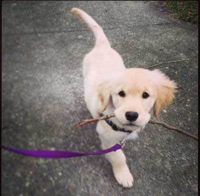 puppy with a twig