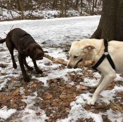 the sticks picture of two dogs fighting over a stick