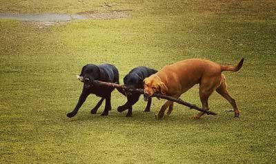 the sticks picture of 3 dogs carrying a big stick