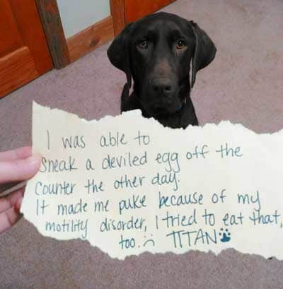 Labrador Dog Shaming of a lab that eats deviled eggs