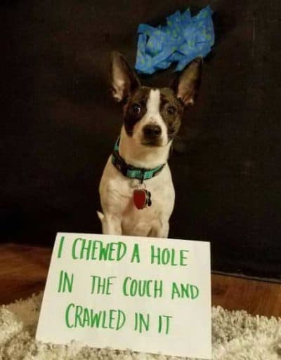 dogshaming pictures of a Pup who chews a hole in sofa