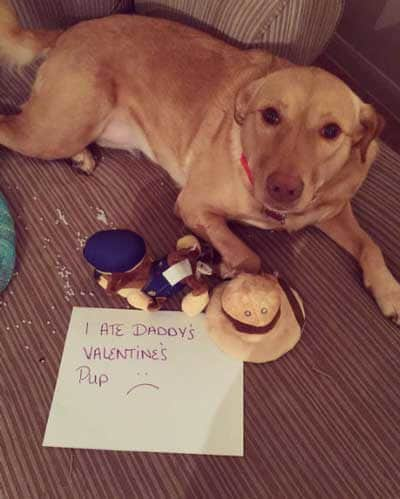 Dogshaming pictures of a Labrador who killed a stuffed animal