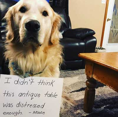 Dog eats table for funny dog shaming pic