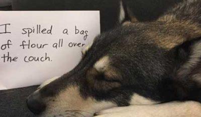 Dog Shame Photos of Husky spills flour on the sofa