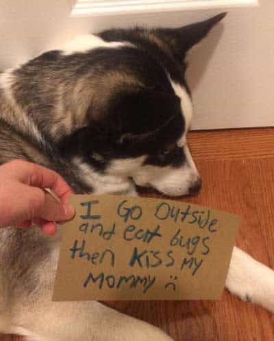 Husky eats Bugs then goes his mom and gives her a big wet kiss