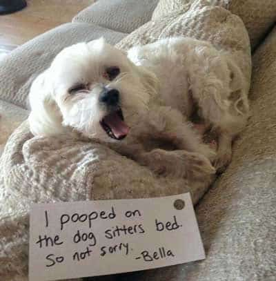 funny dogshaming of canine went to the bathroom on sitter's bed