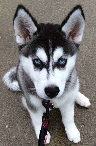 Husky Pup with awesome blue eyes