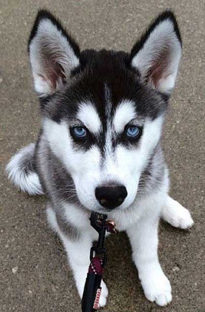 cute puppy pictures blue eyes