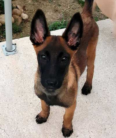 cute puppy staring at the camera