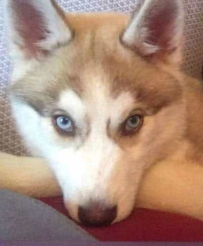 husky puppy with blue eyes