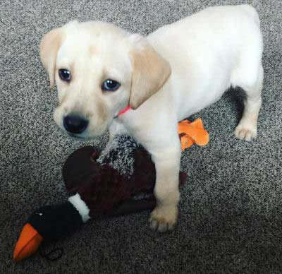 a lab puppy with a duck toy