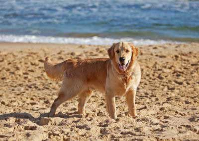 Dogs on the beach with a retriever playing in the sand
