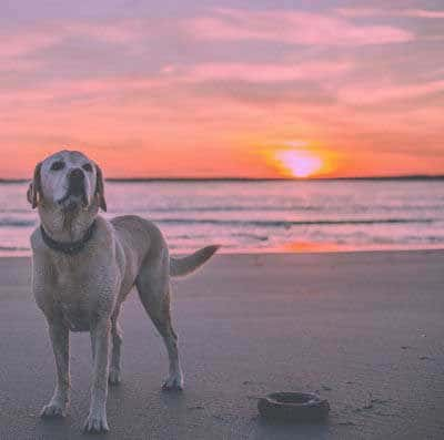 beach dogs with a lab and a sunset