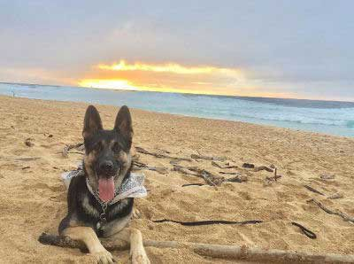 Dogs on the beach with a German Shepard on the beach during a sunset