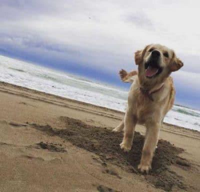 Dogs on the beach with a retriever on the beach