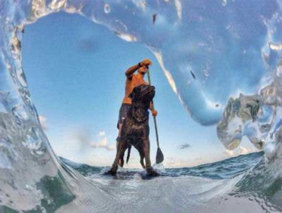beach dogs picture of a Labrador on a paddle board