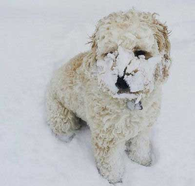 dogs who love snow picture of a canine with caked on snow
