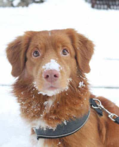 dogs in snow picture of a canine with snow on his nose