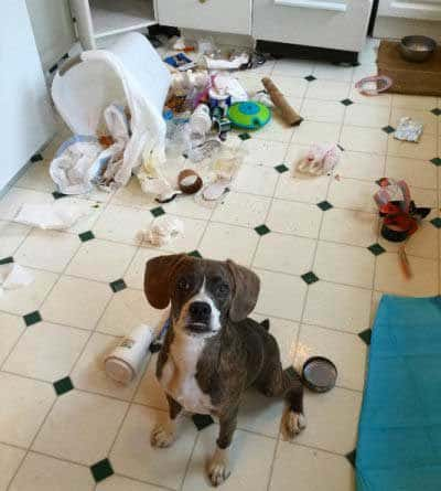 Hilarious dog pictures with a pooch who went thru trash