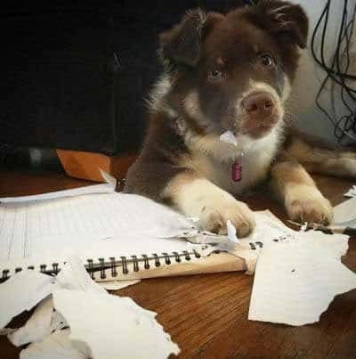 silly dog pictures with a Canine who did eat the homework