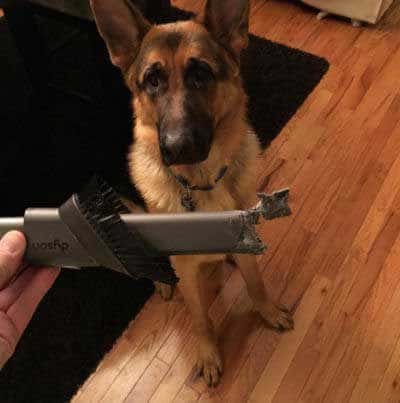 Hilarious dog pictures with a German Shepherd who ate vacuum attachment