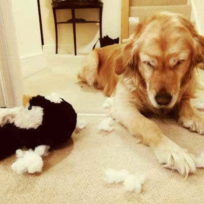 Hilarious dog pictures with a Retriever killed a stuff animal