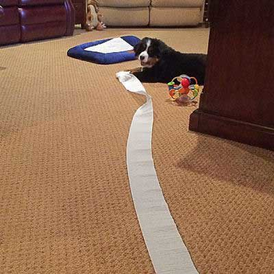 Hilarious dog pictures with toilet paper unrolled by puppy
