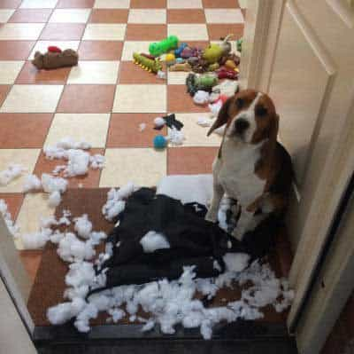 Hilarious dog pictures with a Canine who killed a pillow