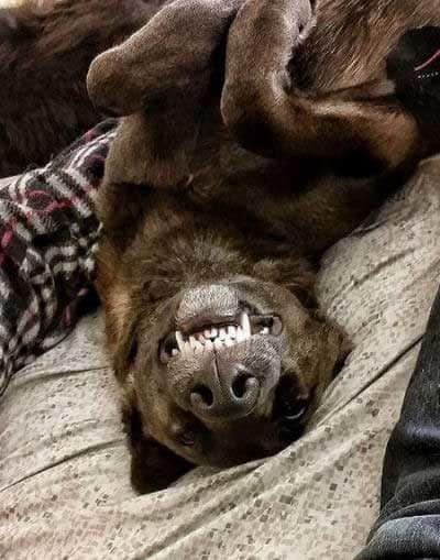 canineshowing teeth while laying upside down