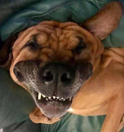 canine shows off his wrinkles with an upside down picture