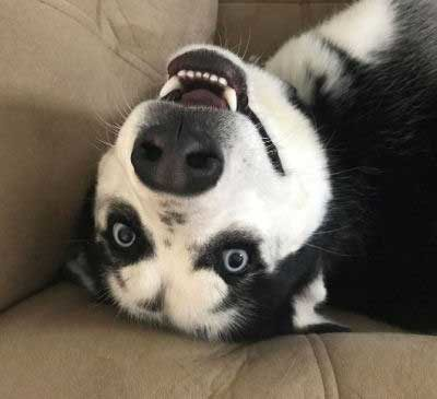 Upside Down Dog Pictures of a husky