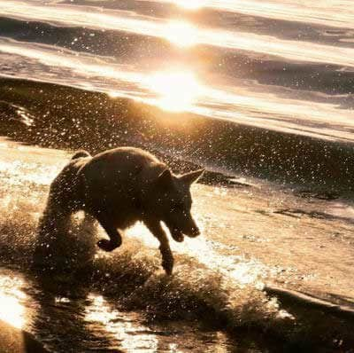 awesome white canine breaking the waves during sunset.