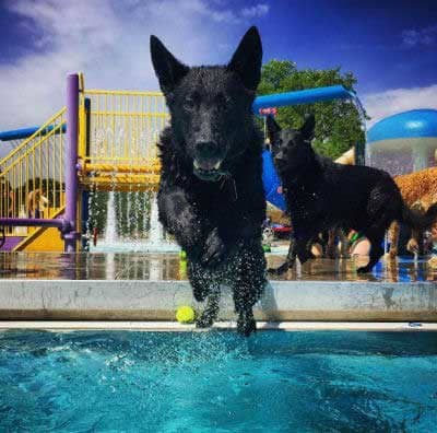 cool black canine jumping in a pool