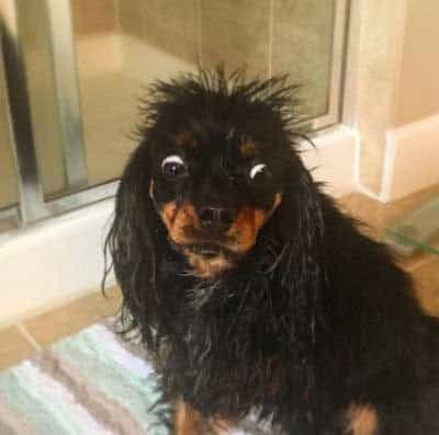 pooch just out of bath