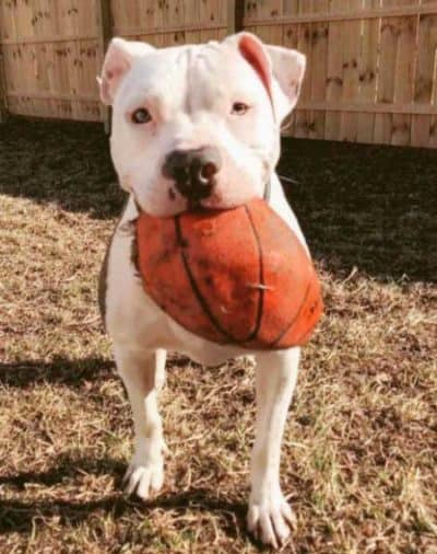 pooch with a crushed basketball for Dogs and balls pictures