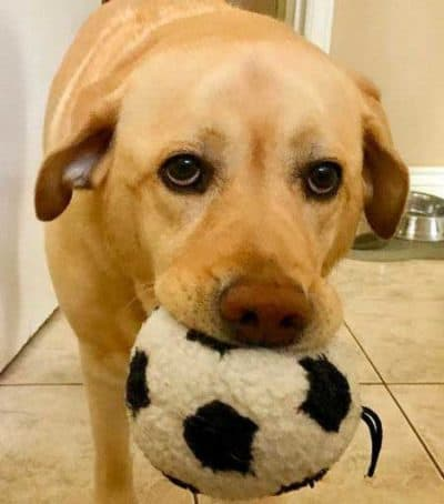 lab with a plush soccer ball