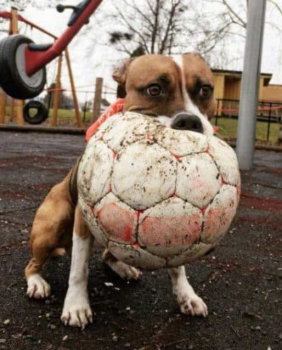 crazy canine crushing a soccer for Dogs and balls pictures