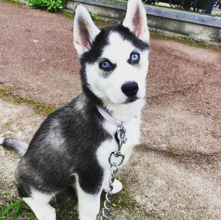 blue eyed husky puppy chilling outside