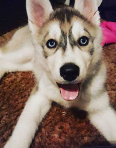 lively husky puppies with mouth open