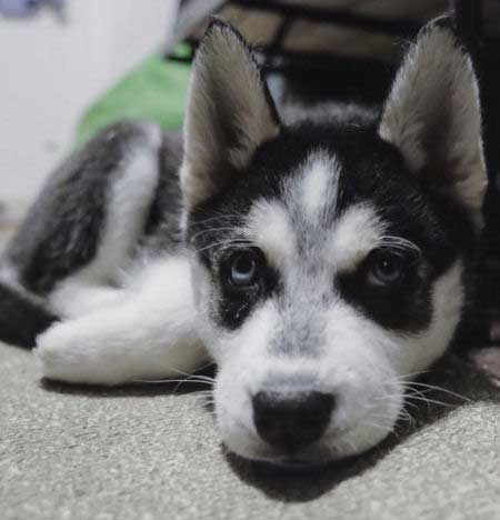 pictures of Husky Puppies posing for the camera