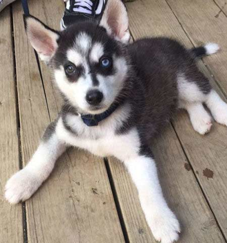 Husky puppy chilling out on the porch