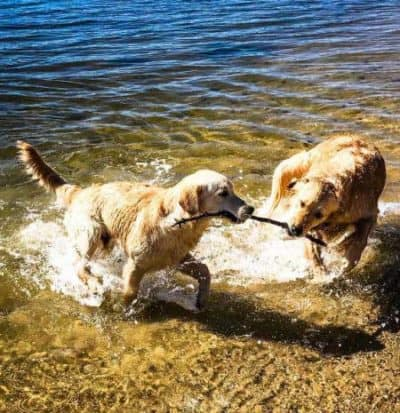 pictures of funny dogs with dogs fetching stick in water