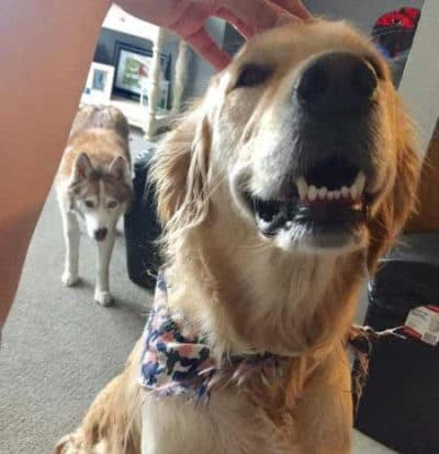 pictures of funny dogs with Husky stalking a golden retriever and is jealous for attention