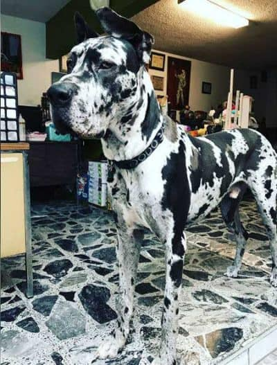 pictures of funny dogs with a Great Dane that looks like the floor