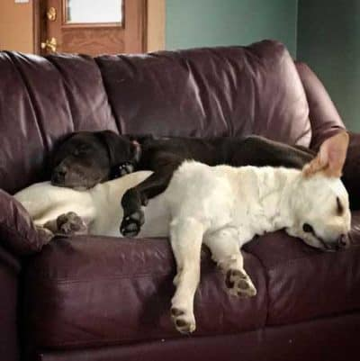 pictures of funny dogs with 2 funny Dogs laying together on the sofa