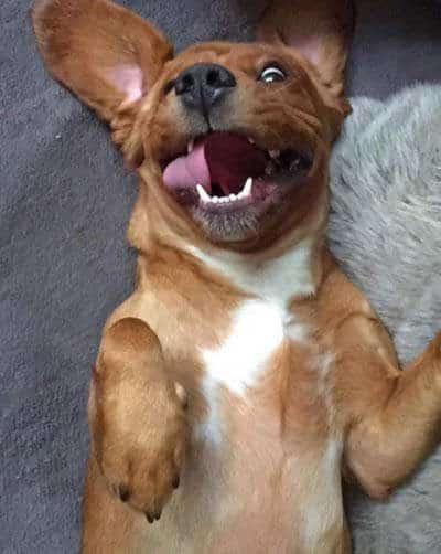 Pooch laying on his back with a funny expression for funny dog images