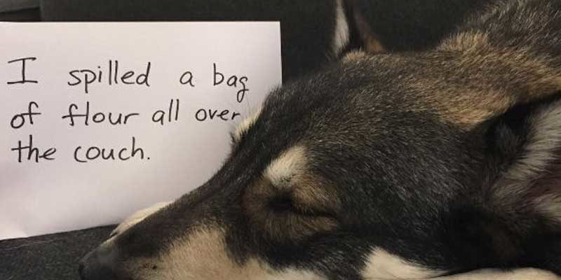 Funny dog shaming Picture a Big Canine Some how this Shepherd got a bag of flour to the couch and opened it up.